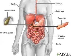 sistema-digestivo